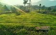 云南德宏陇川:生态林茶带来致富新希望