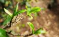 古树茶的新蓝海——产品的可追溯体系