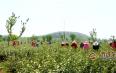 张开信:六年深耕荒山 种出济宁首个茶园