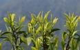 黄茶采摘月份应该是几月份