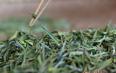 黄茶的具体采摘季节