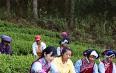 高山生态茶 拓宽脱贫路