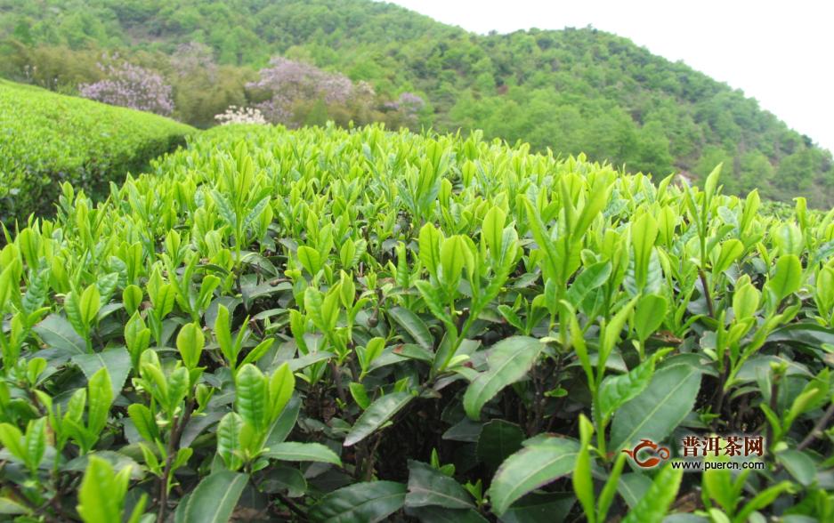 抹茶是用哪些茶树品种做的?