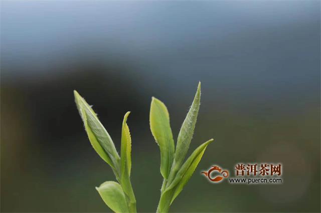 升级茶产业 还富于茶农 小罐茶助贫困县脱贫致富