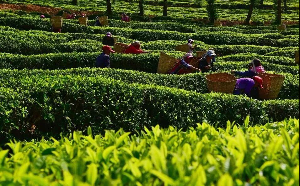 何青元:用科技引领和支撑云茶产业快速发展