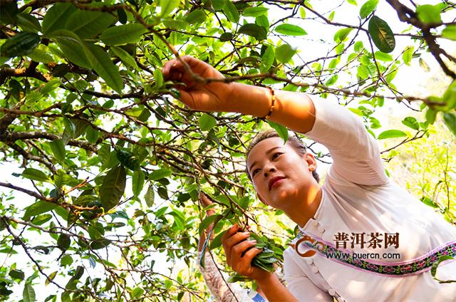 昆明七彩云南庆沣祥茶业:企业能做好古树茶产品吗?