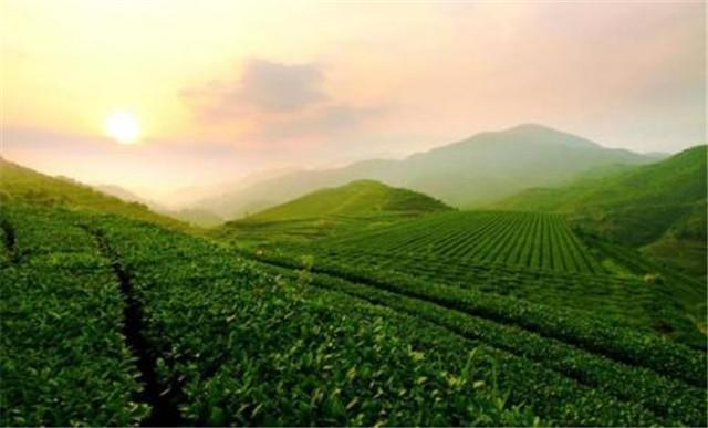 八马茶业万晖榕:专注为中国消费者做好茶
