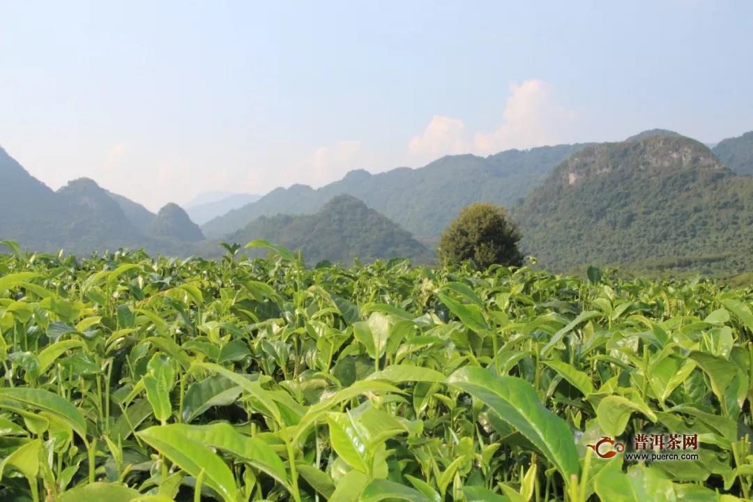 英德红茶春茶量减价增,总产值达10.9亿元!