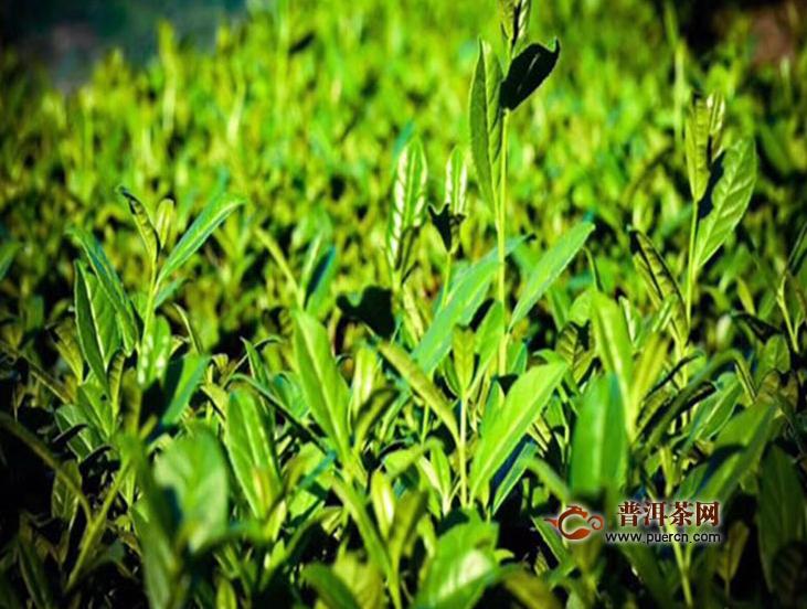 铁观音茶的营养有哪些
