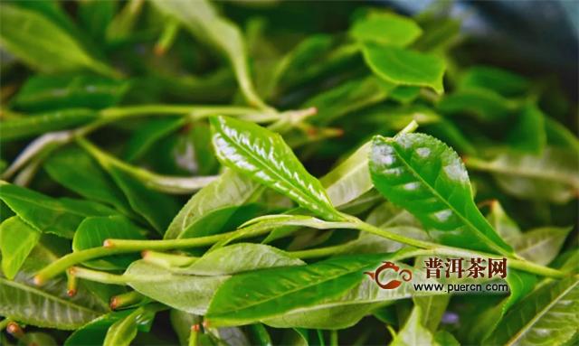 彩农茶:如何区分春茶和雨水茶?