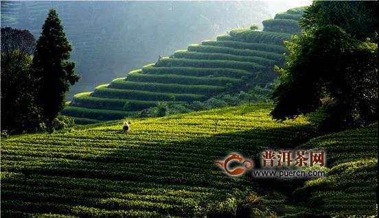 雅安市振兴茶产业纪实