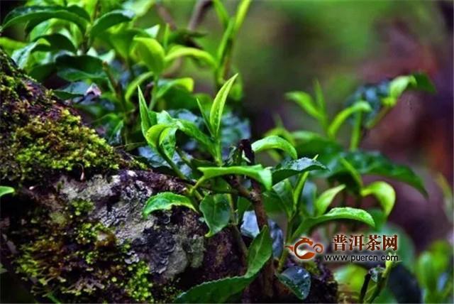 老包说茶:邦崴古茶山