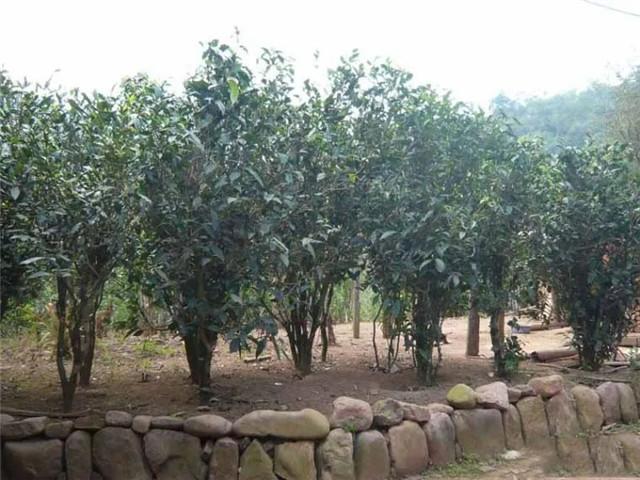 彩农茶:倚邦小叶种?
