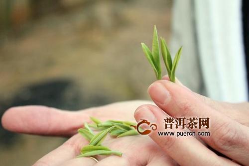 从致富茶到扶贫茶,安吉白茶带动湘川黔5839名贫困人口脱贫增收!