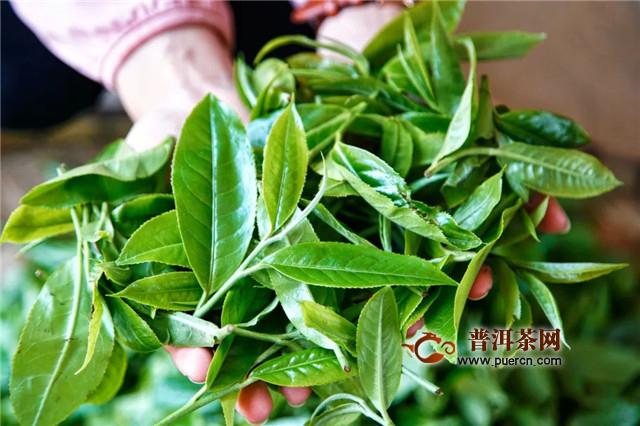彩农茶:纯料与拼配