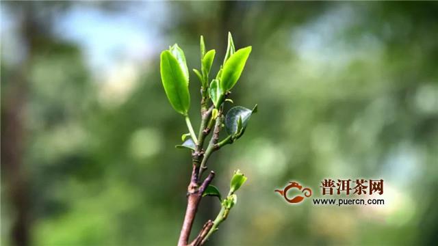 彩农茶:云南大叶种与省外中、小叶种关系区别