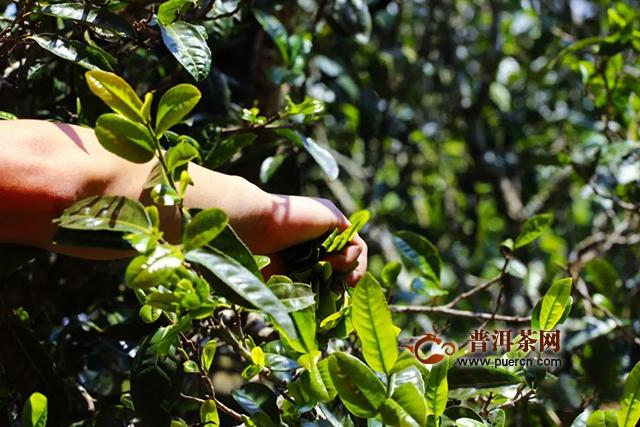 芒嘎拉新品上市:古树黄金叶