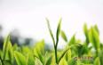 喝绿茶的好处及其相关禁忌