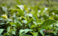 龙井茶的功能及其作用
