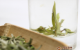 饮用白茶可以降低尿酸吗