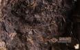 论黑茶品质及风味形成机理