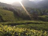 常德茶叶产业发展调研座谈会提出:政企发力做大做强茶产业
