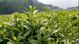 农业农村部制定《关于促进贫困地区茶产业稳定发展的指导意见》