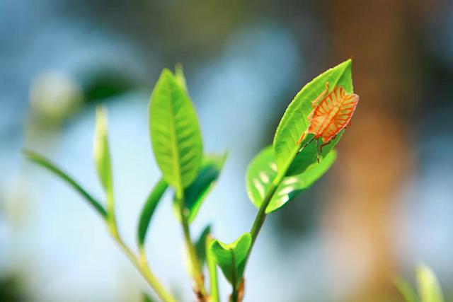 """七彩云南庆沣祥百山问茶:""""茶树自然博物馆""""里走出的""""王妃"""""""