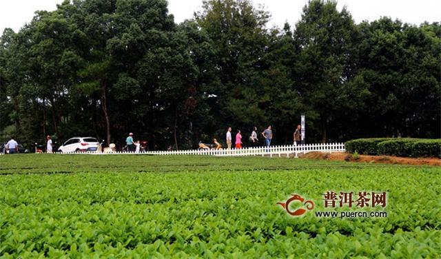 冶溪琥珀发展茶产业示范村