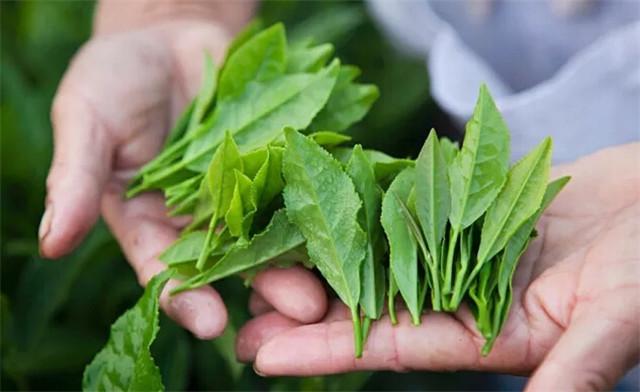 过关难!老挝茶企80吨茶叶滞销