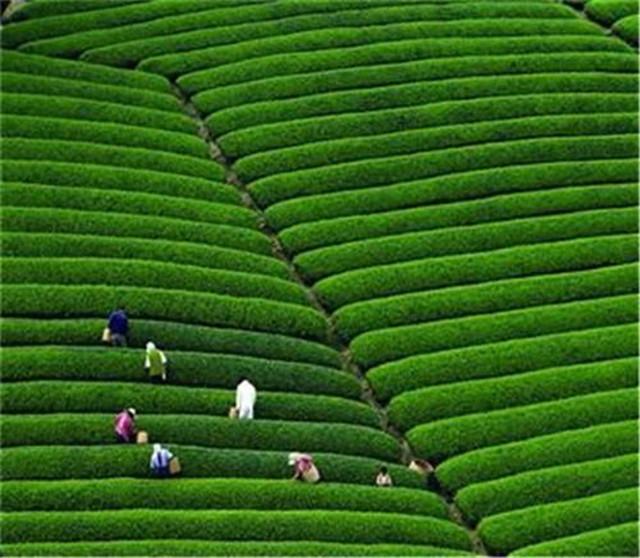 中国茶叶曾制霸全球,为何如今1%的市场都不到?