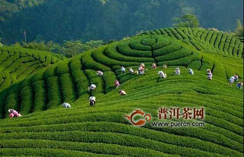 疫情之下,贵州茶叶出口危中寻机逆市上扬