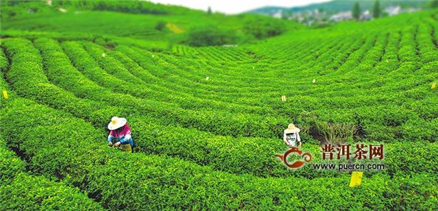 六安瓜片和霍山黄芽是产自哪里的茶叶