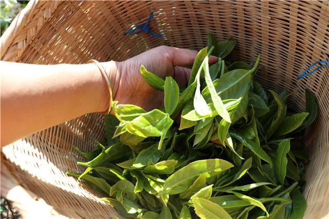 安康市茶叶出口占全省94%