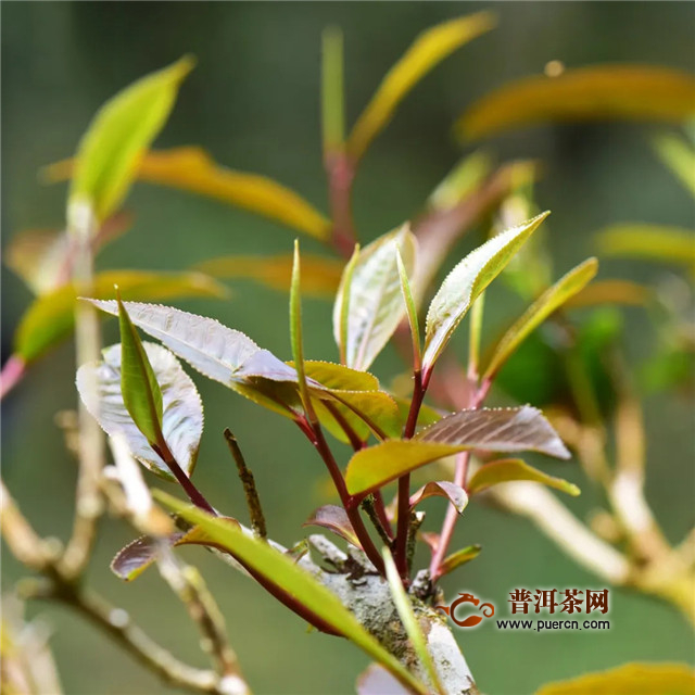 彩农茶:普洱茶鉴赏
