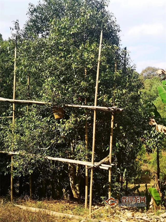 严查!揪出毁林种茶背后的官商勾结、利益输送问题