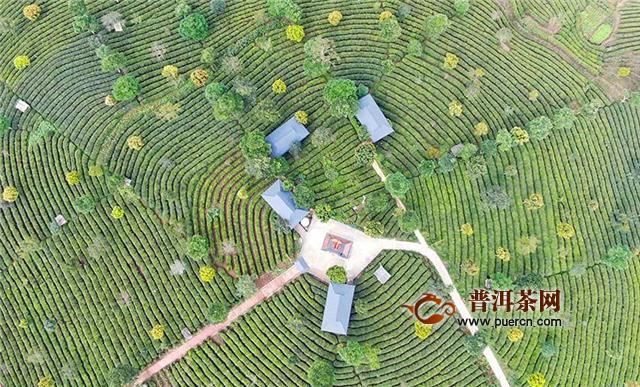 云南思茅:林中有茶 茶中有林