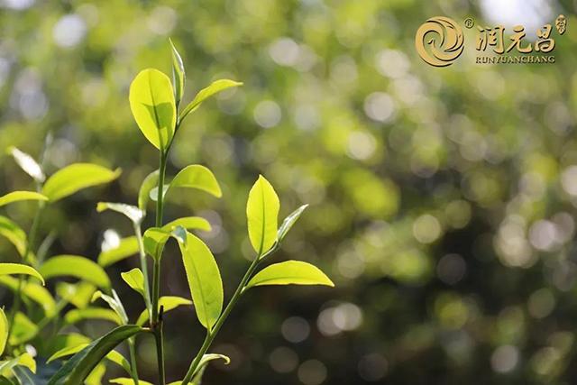 春茶发酵的熟茶到底好在哪里?