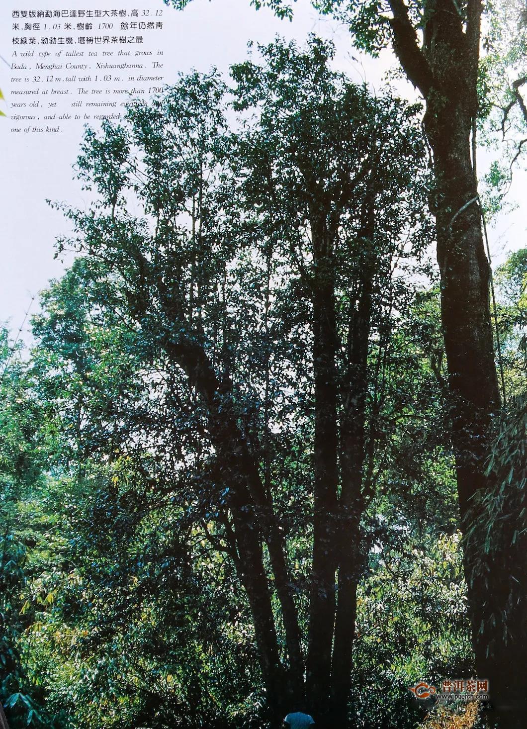 为什么现在只有云南有那么多古茶树?