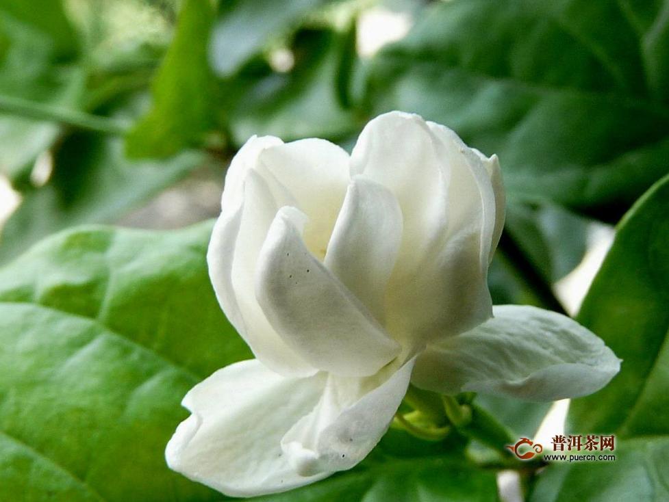 茉莉茶主要有多少品种