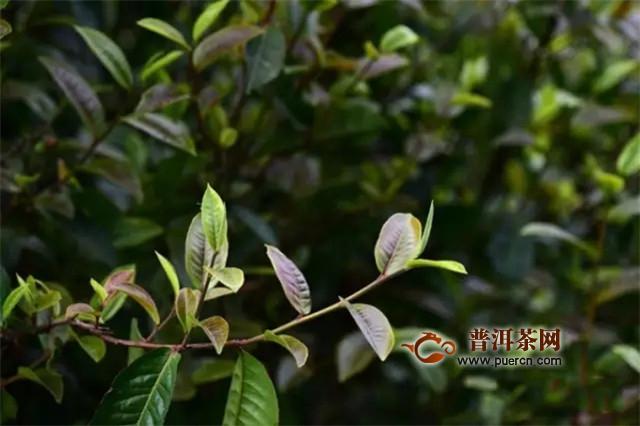 彩农茶:紫芽,紫娟