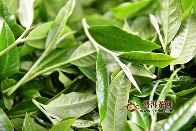 彩农茶教你如何辨识台地茶和古树茶?