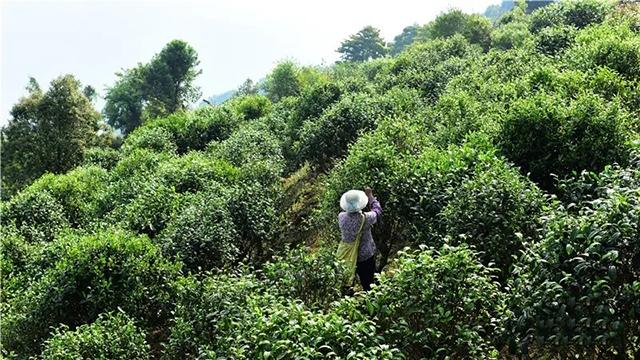 彩农茶:清阮福《普洱茶记》