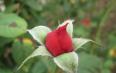 玫瑰花茶的多少钱一斤合适