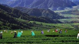 腾冲市加大有机绿色茶园建设 持续提升茶产品质量