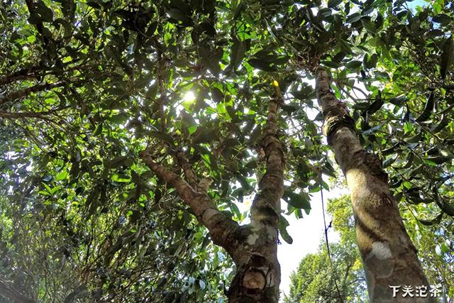 拼配是对古树普洱茶的有效利用和保护!