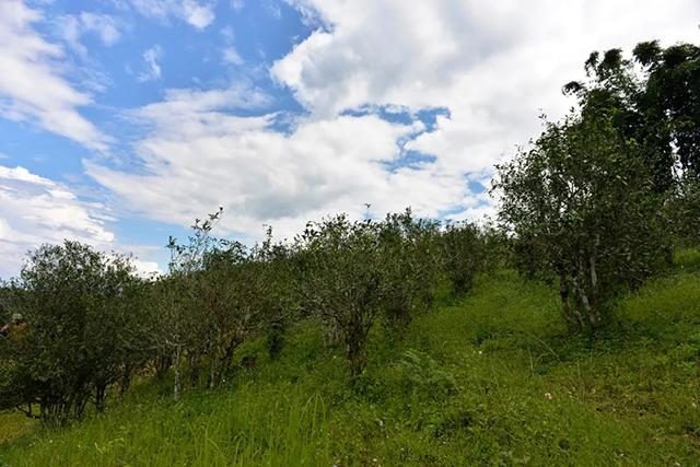彩农茶:海拔对茶叶品质的影响