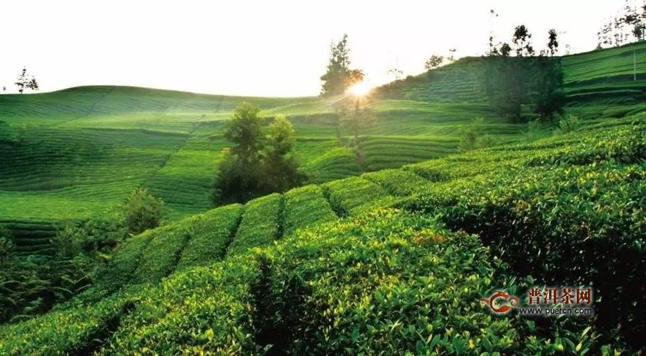 贵州茶叶出口大增