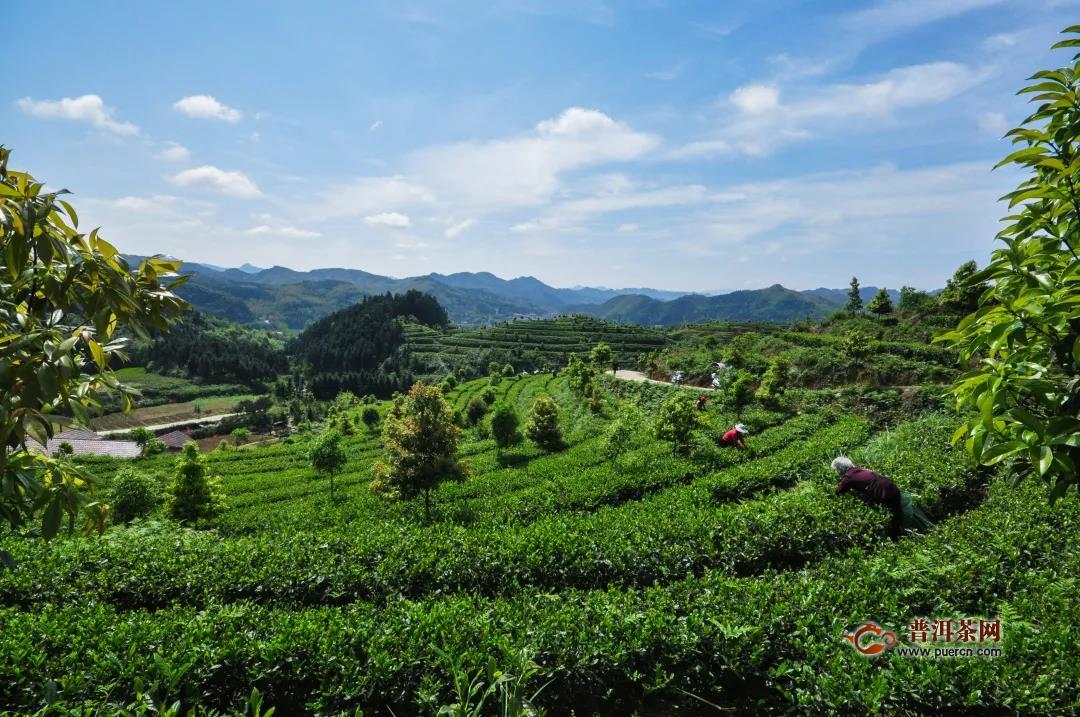 白沙溪茶旅文一体化发展十年成绩斐然