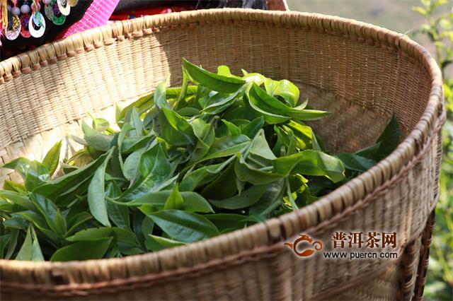 云南茶产业再迎发展高峰
